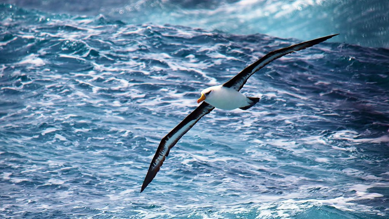 The Albatross: Majestic And Free And Full Of Plastic